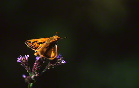 Skipper Butterfly at Savannah National Wildlife Refuge, SC