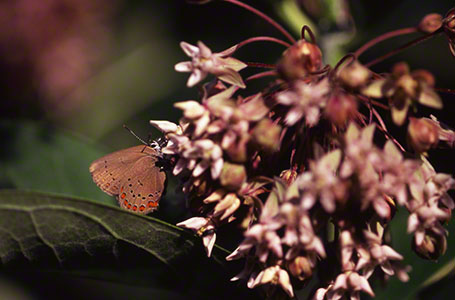 Coral Hairstreak Butterfly at Raccoon Creek State Park