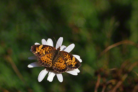 Pearl Crescent Butterfly at Raccoon Creek State Park