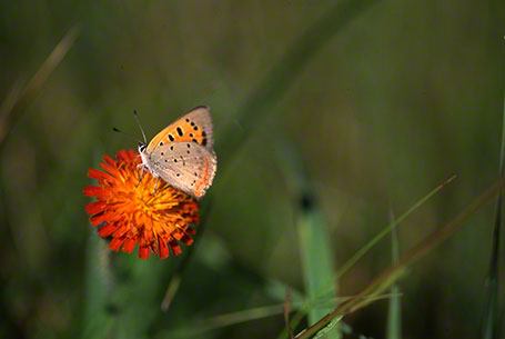 American Copper Butterfly at Raccoon Creek State Park