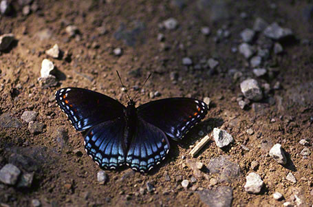 Red-Spotted purple Butterfly at Raccoon Creek State Park