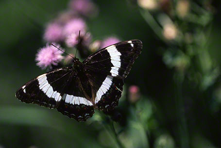 White Admiral Butterfly at Toronto, Canada