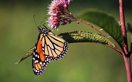 Monarch Butterfly at Raccoon Creek State Park