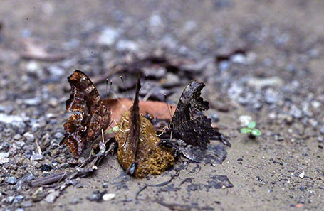 Comma Butterflys at Raccoon Creek State Park