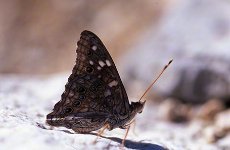 Empress Leila Butterfly at White Tanks Mountains, AZ