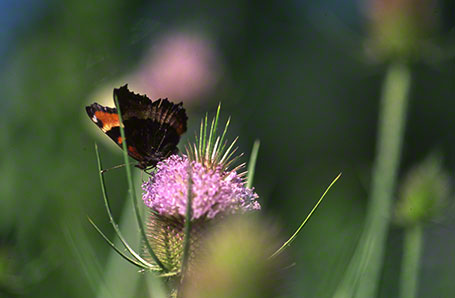 Milbert's Tortoiseshell Butterfly at Raccoon Creek State Park