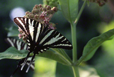 Zebra Swallowtail Butterfly at Mason Neck State Park, VA