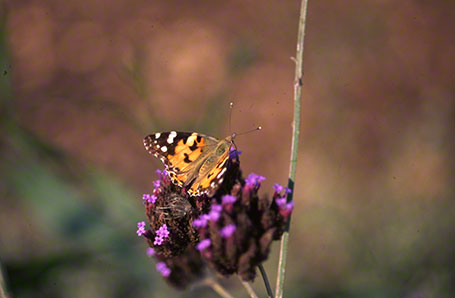 Painted Lady Butterfly at Ramat Hanadiv, Israel, International
