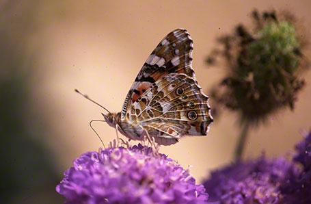 Painted Lady Butterfly at Ramat Hanadiv, Israel, International
