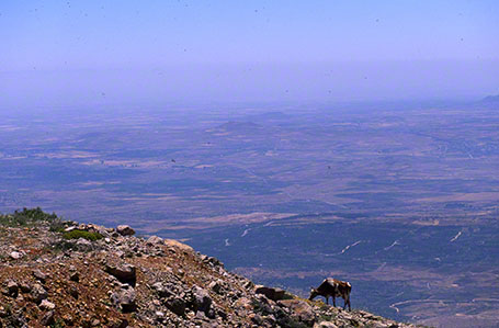 Cow Grazing on Mt. Hermon at Mt. Hermon, Israel
