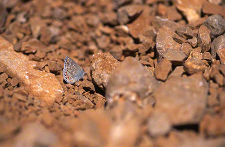 Brown Argus Butterfly at Mt. Hermon, Israel