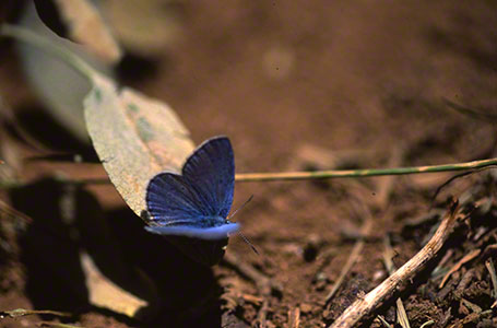 Common Blue Butterfly at Mt. Hermon, Israel