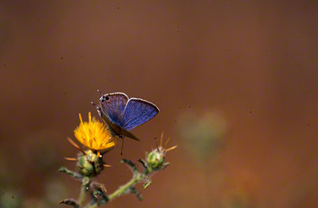 Long-Tailed Blue Butterfly at Mt. Hermon, Israel