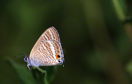 Long-Tailed Blue Butterfly at Ramat Hanadiv, Israel