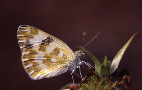 Bath White Butterfly at Ramat Hanadiv, Israel