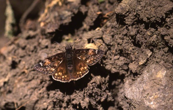 Duskywing at Raccoon Creek State Park