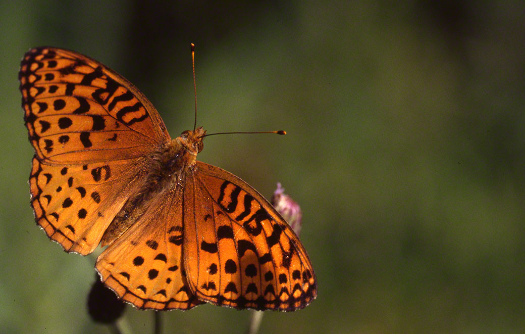 Aphrodite Fritillary at Raccoon Creek State Park