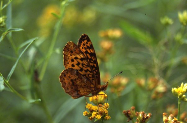 Meadow Fritillary Butterfly at Rector, PA