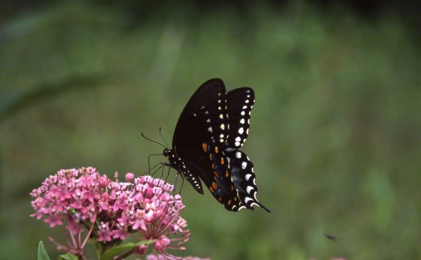 Spicebush Swallowtail Butterfly at Rector, PA