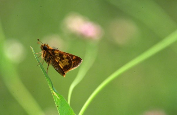 Skipper Butterfly at Raccoon Creek State Park