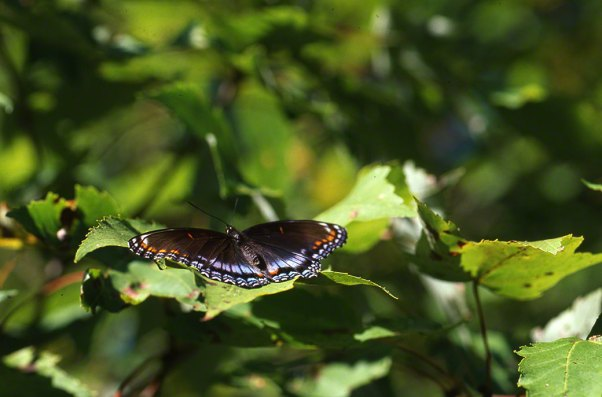 Red Spotted-Purple Butterfly at Raccoon Creek State Park
