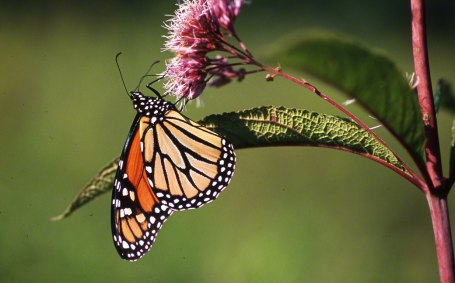 Monarch Butterfly photographed by Jeff Zablow at Raccoon Creek State Park. Jeff blogs about the art and science of butterflies at http://www.wingedbeauty.com
