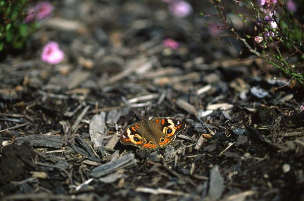 Buckeye Butterfly at Phipps Conservatory, Pittsburgh