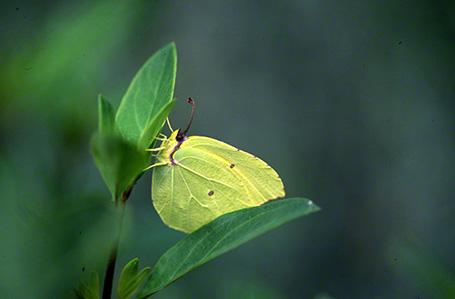Cleopatra Butterfly at Ramat Hanadiv, Israel