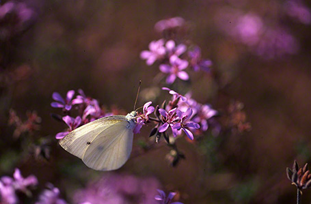 Small White Butterfly photographed in Ramat Hanadiv by Jeffrey Zablow