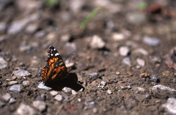 American Lady Butterfly at Raccoon Creek State Park