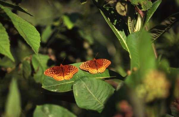 Great spangled fritillary Butterfly at Raccoon Creek State Park