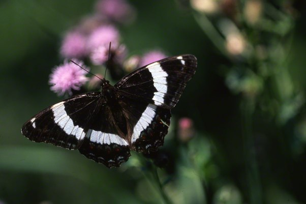 White Admiral Butterfly photographed by Jeff Zablow at Toronto, Canada, International. Jeff blogs about the art and science of butterflies at http://www.wingedbeauty.com