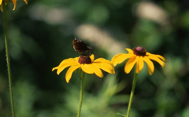 Skipper Butterfly photographed by Jeff Zablow at Raccoon Creek State Park
