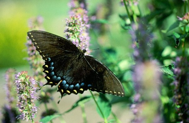 Tiger Swallowtail Butterfly (Black Form) photographed by Jeffrey Zablow in  Eastern Neck National Wildlife refuge, MD