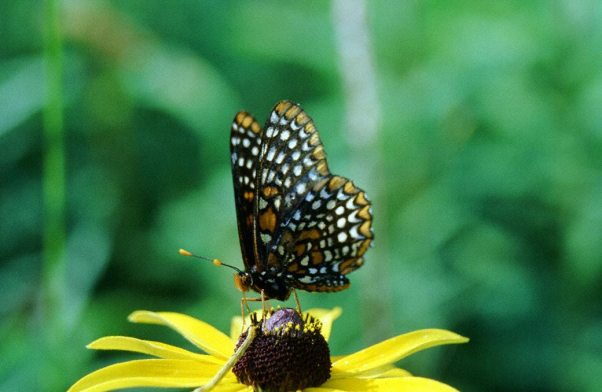 Baltimore Checkspot Butterfly photographed in Rector, PA