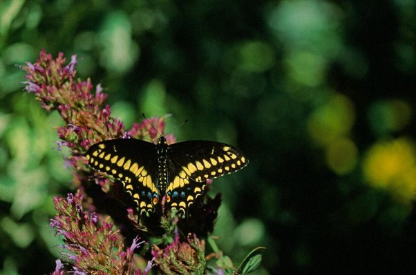 Eastern Black Swallowtail Butterfly photographed by Jeffrey Zablow in Phipps Conservatory Outdoor Gardens, PA