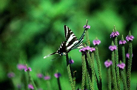 Zebra Swallowtail Butterfly photographed in Eastern Neck National Wildlife refuge, MD