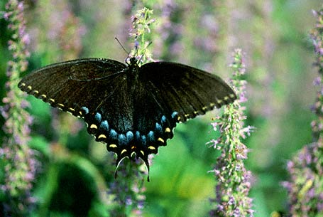 Tiger swallowtail Butterfly ( Black Form) photographed in Eastern Neck National Wildlife refuge, MD