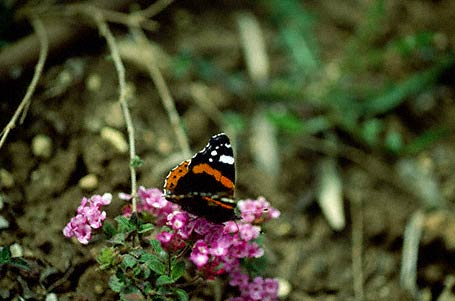 Red Admiral Butterfly photographed in Ramat Handiv, Israel