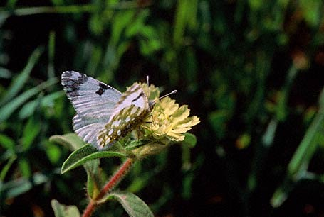 Eastern Dappled White Butterfly photographed in Ramat Hanadiv, Israel