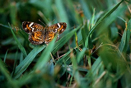 Phaon Crescent Butterfly photographed in Peroy Percy State Park, MS