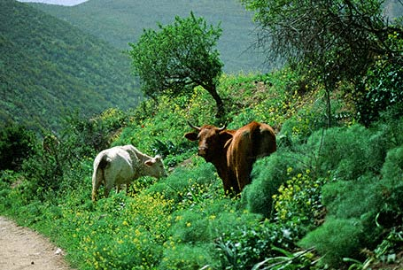 Dairy Cattle Challenge photographed in Northern Golan, Israel