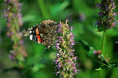 Red Admiral Butterfly photographed in Eastern Neck National Wildlife refuge, MD