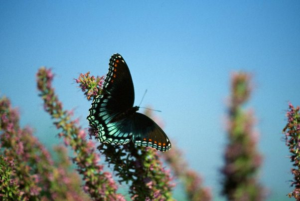 Red-spotted purple Butterfly photographed by Jeffrey Zablow in Eastern Neck National Wildlife refuge, MD