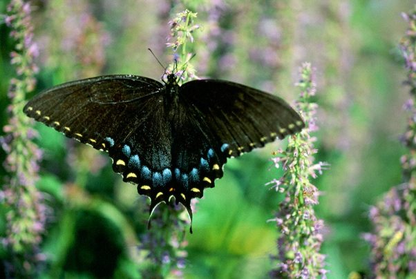 Tiger Swallowtail Butterfly ( Black Form) photographed by Jeffrey Zablow in Eastern Neck National Wildlife refuge, MD