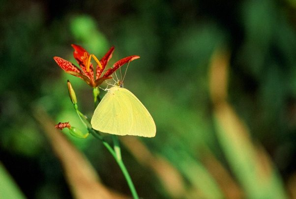 Cloudless Sulphur Butterfly photographed by Jeffrey Zablow in Eastern Neck National Wildlife refuge, MD