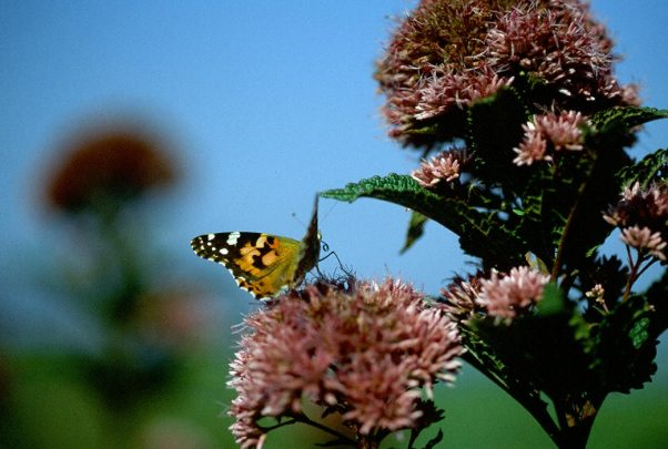 Monarch Butterfly photographed by Jeffrey Zablow in Eastern Neck National Wildlife refuge, MD