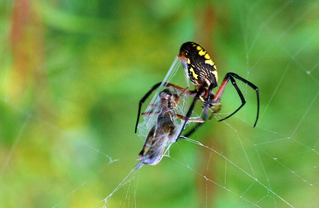 Northeastern Pennsylvania Spiders http://wingedbeauty.com/2013/02/25/black-and-yellow-argiope-spider/
