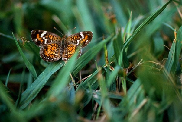 Phaon Crescent Butterfly photographed by Jeffrey Zablow in Leroy Percy State Park, MS