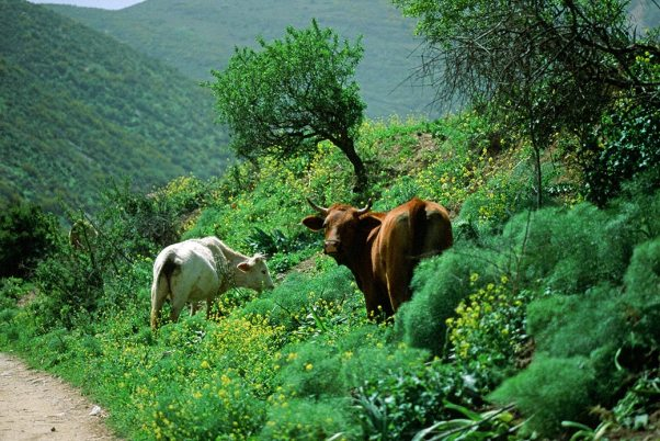 Dairy Cattle photographed by Jeffrey Zablow in  Northern Golan, Israel